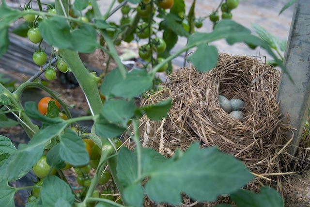 Nesting among the toms