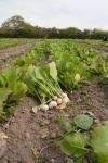 turnips in France