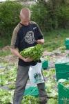batavia lettuces at Riverford in France