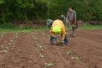planting globe artichokes at Wash Farm