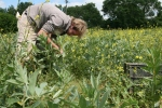 picking broad beans in Devon