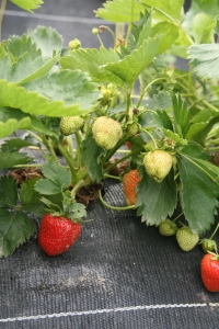 Strawberries at Wash Farm in Devon
