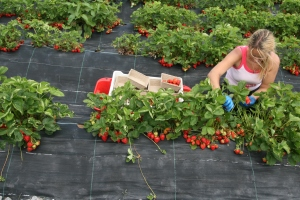picking strawberries at Riverford Organic in Devon