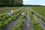 picking organic strawberries at Wash Farm