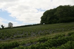 strawberry fields in Devon