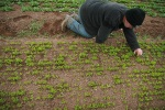 weeding organic salad pack in Devon
