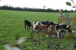 Riverford cows