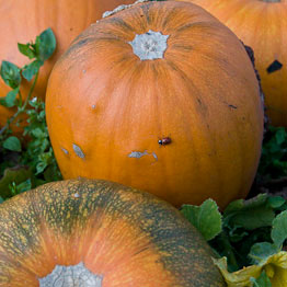 Riverford Organic pumpkins