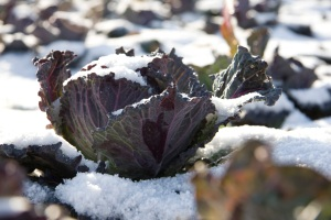 growing veg in the cold weather