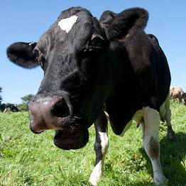 cow - riverford organic milk