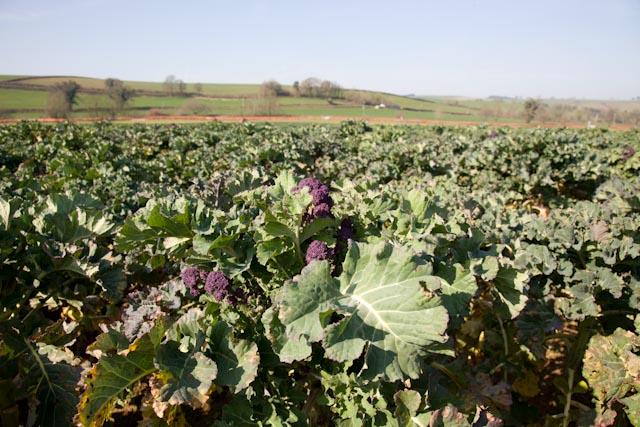 organic purple sprouting broccoli