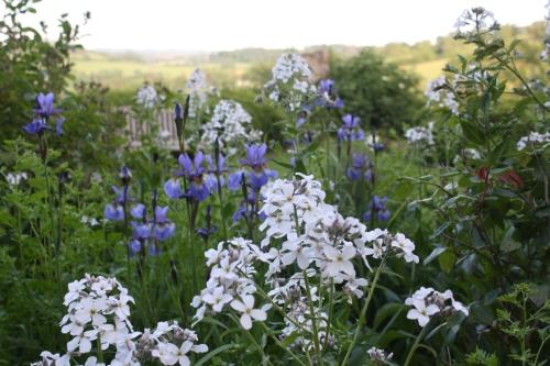 Iris and sweet rocket, Hesperis matronalonis